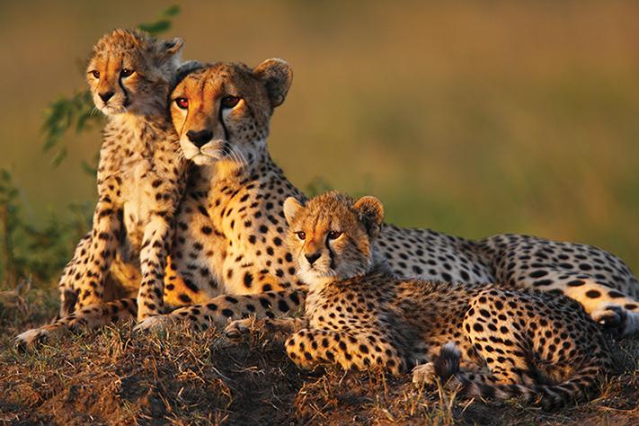 du-lịch-nam-phi-cheetah-fam-visadaisuquan